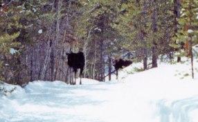 Moose-002